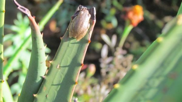 I think this is a reed frog in its brown colouring.