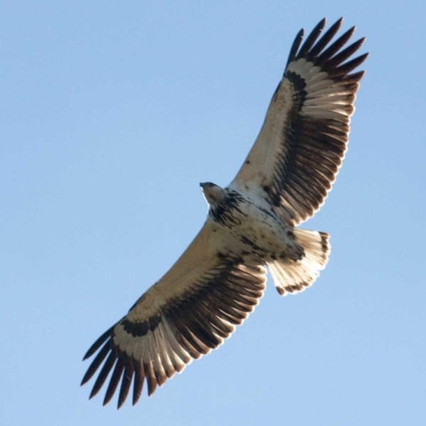 Juvenile African Fish-Eagle