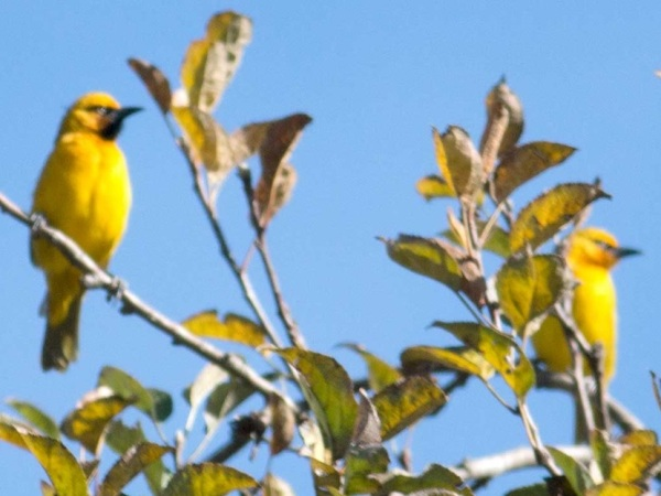 Spectacled Weavers