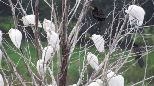 Cattle Egrets and Reed cormorants settling down for the night.