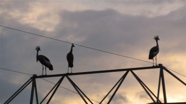 Crowned crane on power lines at dusk - juvenile in the middle with small crown.
