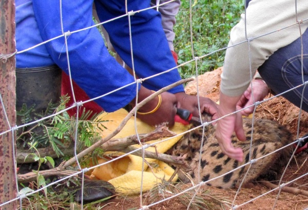 Serval trapped in snare. Free-me and SA CAN helped to free it.