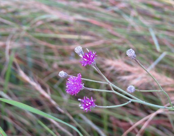 Veronia  natalensis