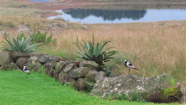 We have had a pair of Blacksmith plovers sleeping in our garden each evening - they would walk around the house with their distinct tink tink sound waking me up.