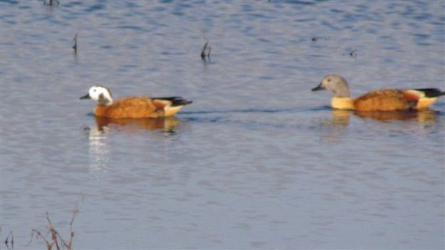 A pair of shelduck