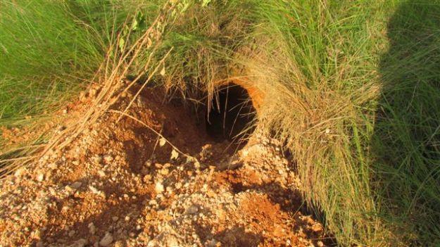Aardvark burrow