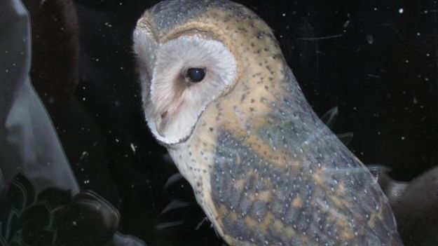 Barn owl on window sill