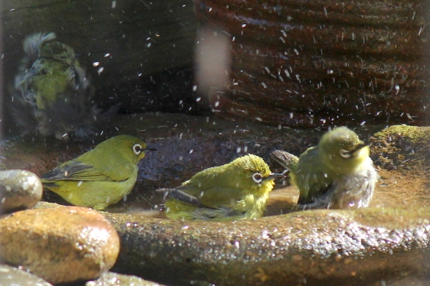 Cape White-eyes bathing
