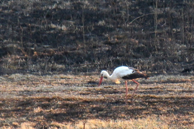 The lone White Stork