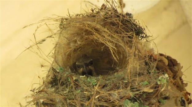 Black female sunbird sitting once again