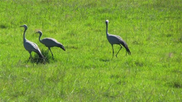 Blue crane family - the juvenile started flying early march while we were away