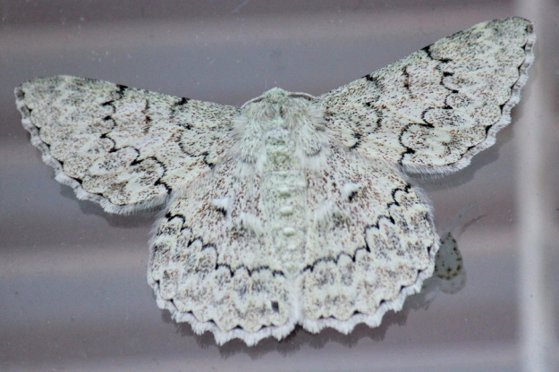 Duster Moth - Pingasa abyssiniaria