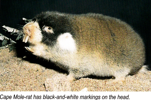 Cape Mole-rat