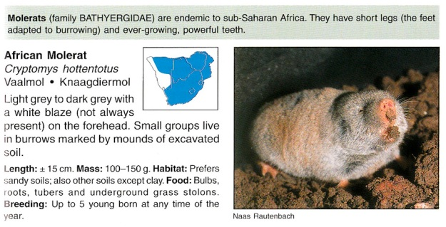 Common or African Mole-rat