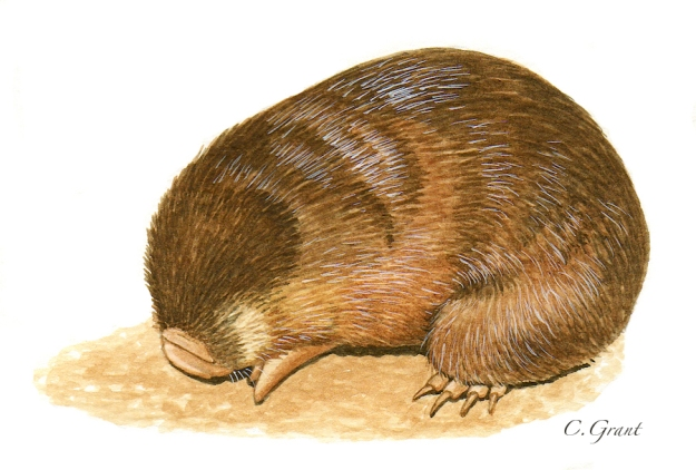 Hottentot Golden Mole by C. Grant