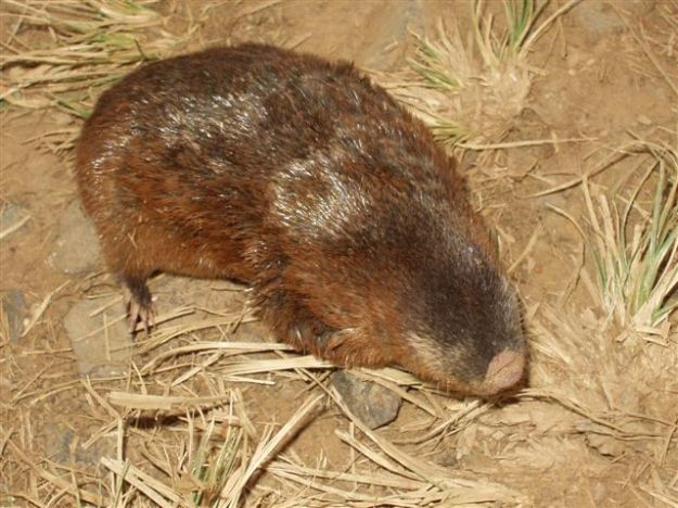 Hottentot Golden Mole