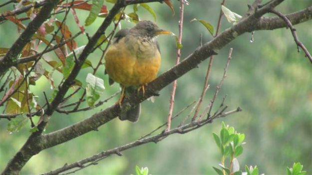 Olive thrush in the rain