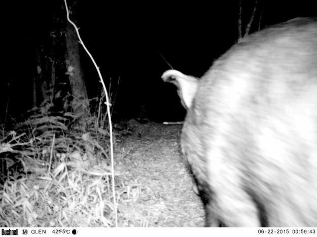 Tailend of a Bushpig