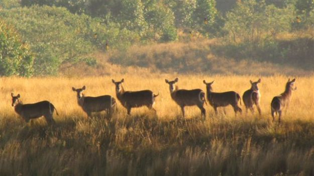 The water buck are back, but 9 arrived on farm this time although only managed to get 7 in this shot