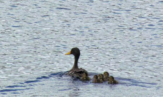 Yellow bill duck and 4 ducklings