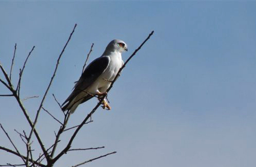 A Black-shouldered Kite