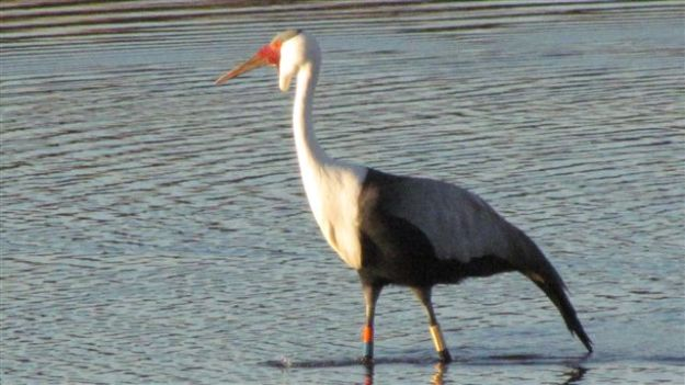 A pair of wattled crane have been arriving at the dam every few days during the month. One has a white ring on his right leg and a red ring (upper) and blue on the other leg