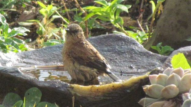 A very wet female buff streaked chat after a 5 minute bath