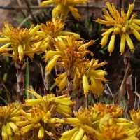 Threatened Plant Species - Aloe dominella