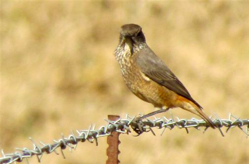Female sentinel rock thrush (on barbed wire fence)