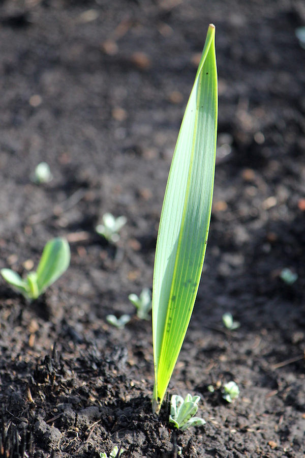 Leaf of the Moraea graminicola