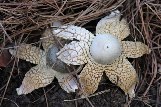 False Earth Star