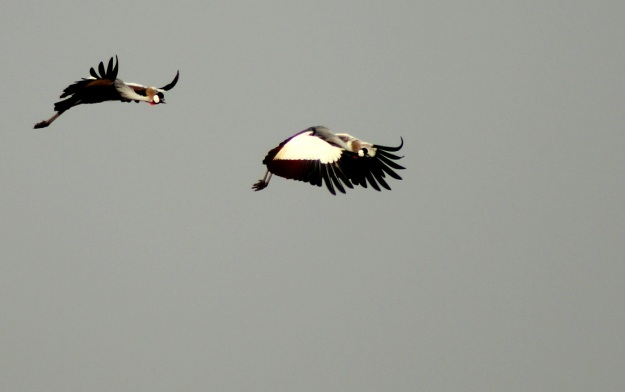 A pair of Grey Crowned Cranes flew by during our casual discussions.