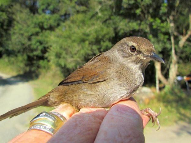 Barats Warbler by Karin Nelson
