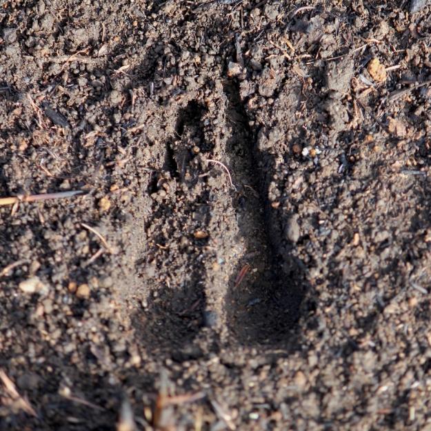 Common Reedbuck spoor