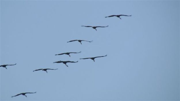 9 Wattled Cranes flew by