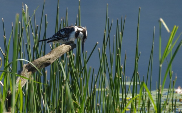 Let us prey. Pied Kingfisher by Patrick Cahill