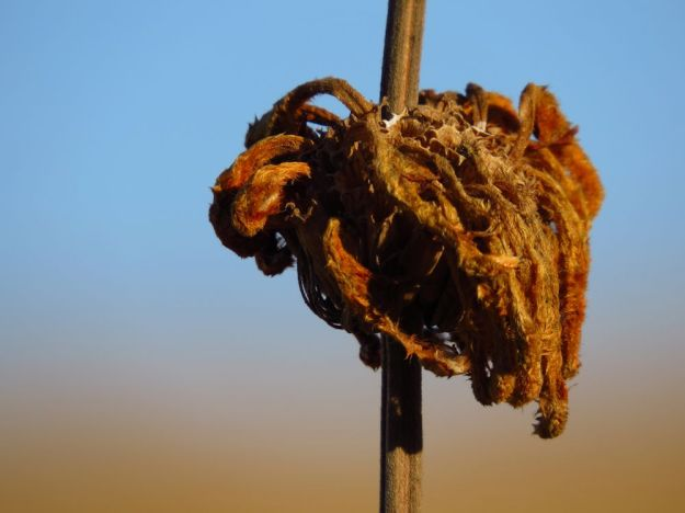 r winter textures dried leonotis