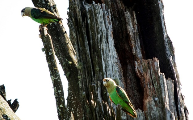 Nesting Cape Parrots by Richard Booth