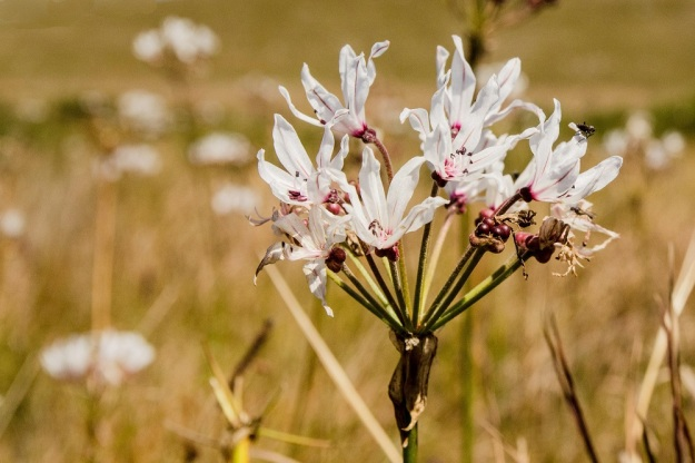 Nerine pancratioides (White Nerine) by Richard Booth