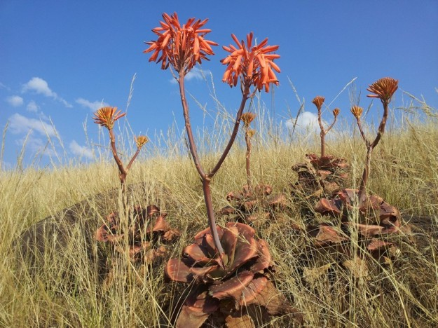 Red Aloes flowering in the hills