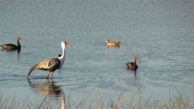 The wattled cranes enjoyed wading at sunset amongst the egyptian and spurwing geese