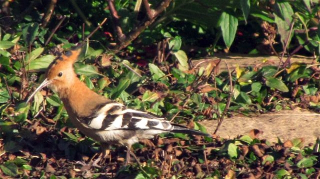 African hoopoe in the garden