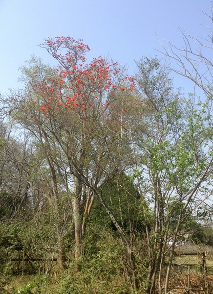 Common Coral tree (Erythrina lysistemon)