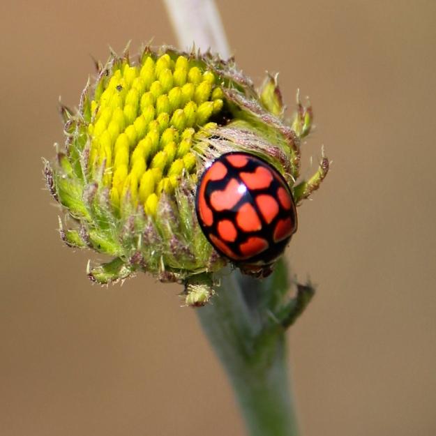 Lunate Ladybird Cheilomenes distigma on Berkheya setifera bud
