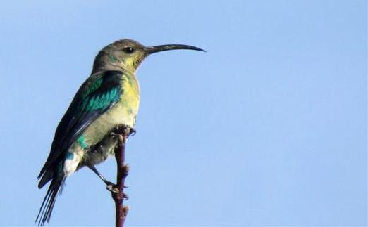 Malachite female sunbird