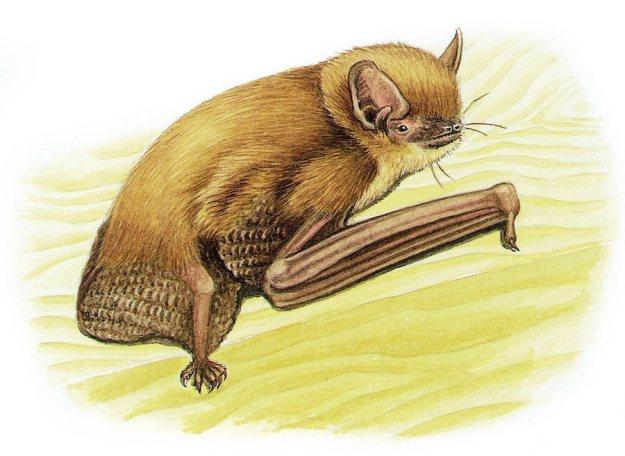 Cape serotine bat Pipistrellus capensis