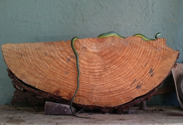 Natal Green Snake