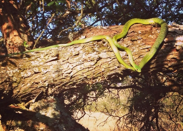 Natal Green Snake (Philothamnus natalensis)