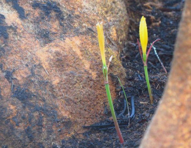 Cyrtanthus breviflorus