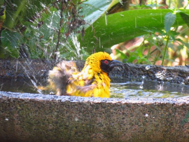Weaver bathing